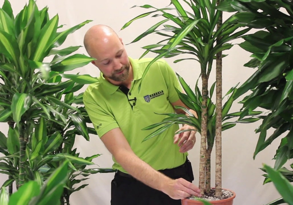 plante dracaena des soins adéquats