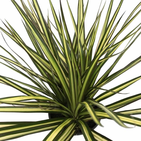 plante dracaena feuilles bien formées
