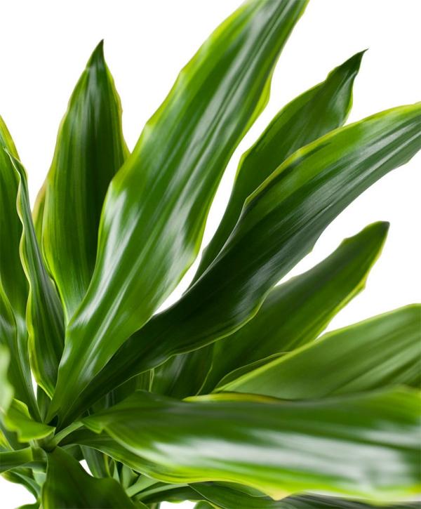 plante dracaena feuilles jaunes aux bords
