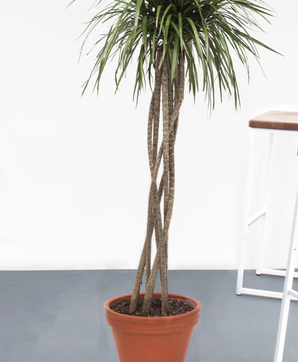 plante dracaena l'arbre du dragon