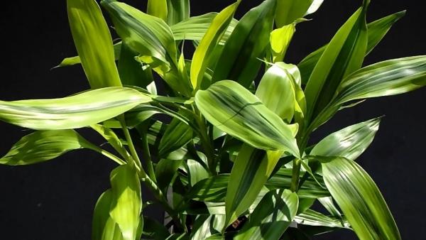 plante dracaena lumière et humidité modérées