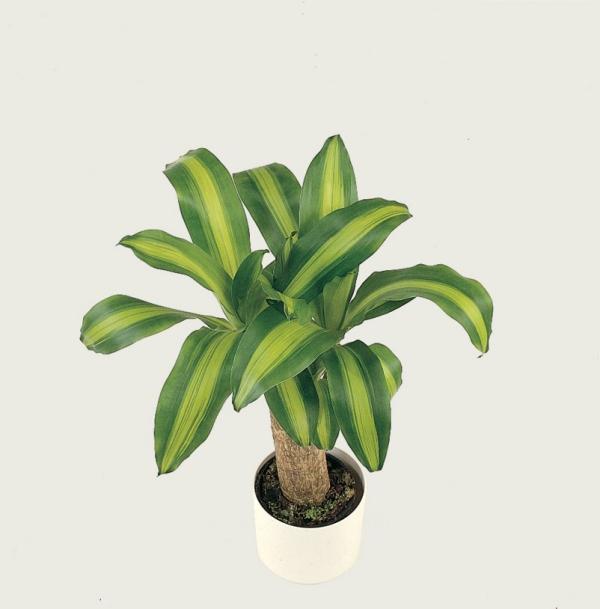 plante dracaena plante de maïs