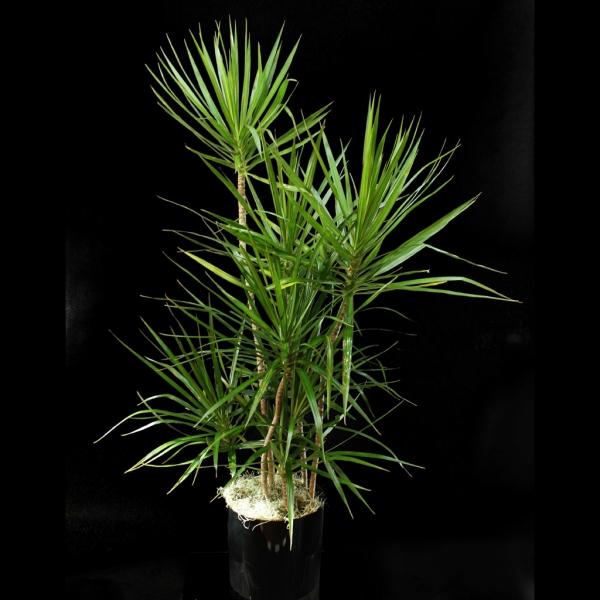 plante dracaena plusieurs tiges