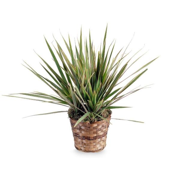 plante dracaena pot dans un panier