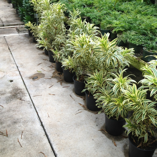 plante dracaena une rangée de pots