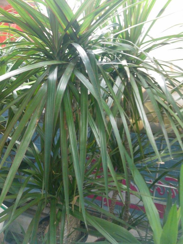 plante dracaenasur une terrasse