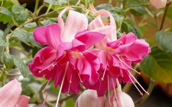plante fuchsia combinaison en rouge et rose