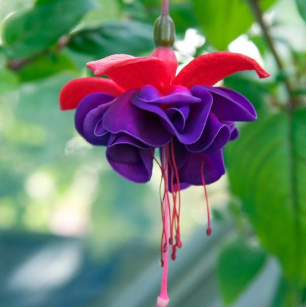 plante fuchsia lilas et rouge