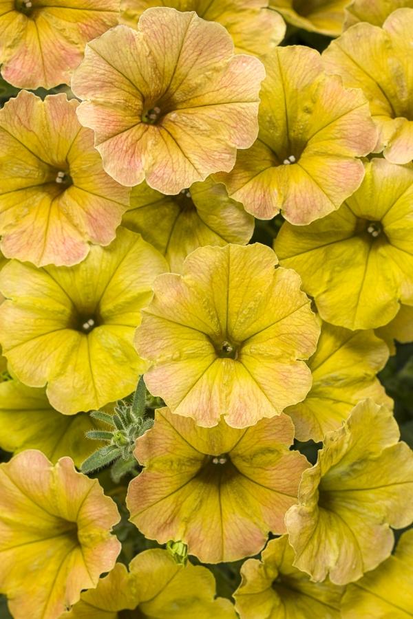 plante mellifère du pétunia