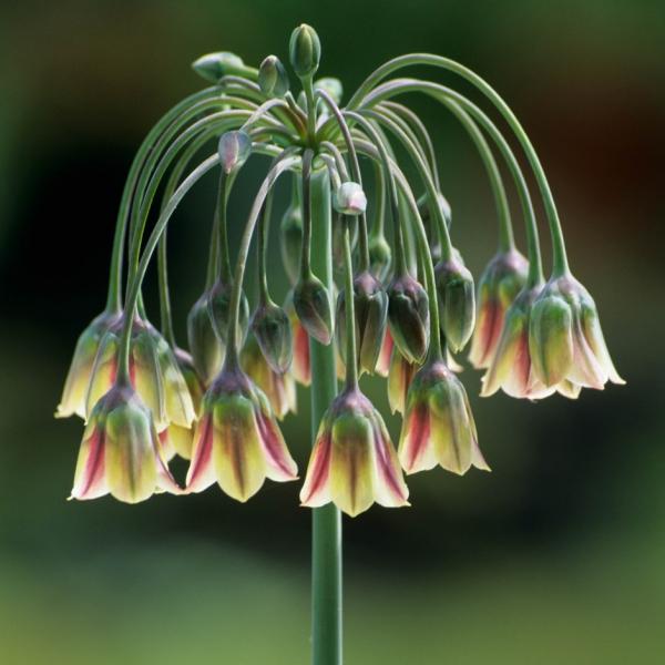 plante mellifère en forme de parapluie
