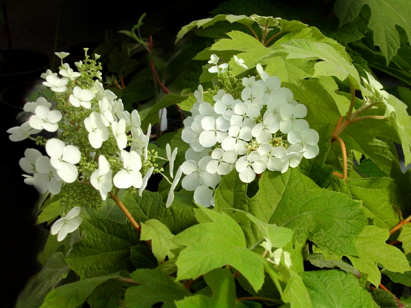 plante mellifère petite hortense