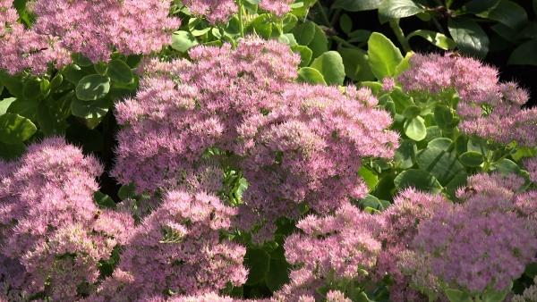 plante mellifère sedum plante