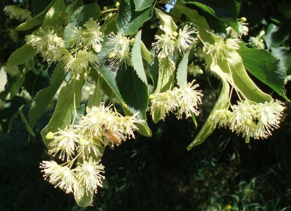 plante mellifère tilleul mellifère