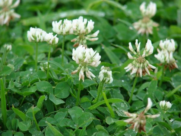 plante mellifère trèfle blanc