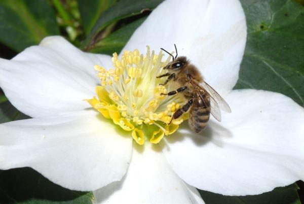plante mellifère une fleur blanche