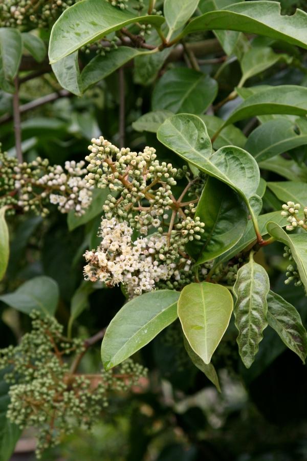 plante mellifère viorne non fleurie