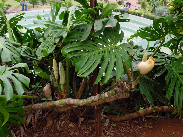 plante monstera formation des fruits