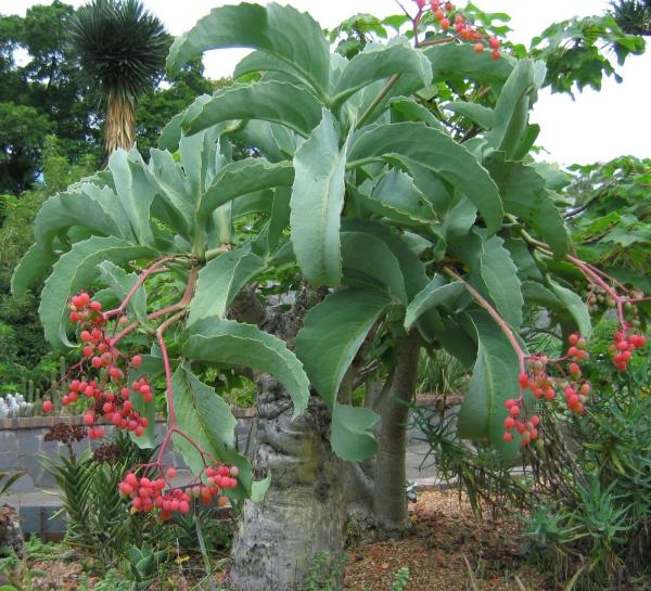 plante pied d' éléphant à l'extérieur