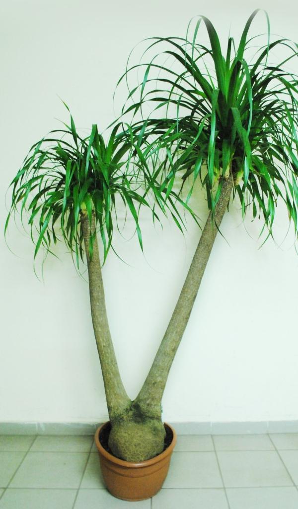 plante pied d' éléphant arbre à deux troncs