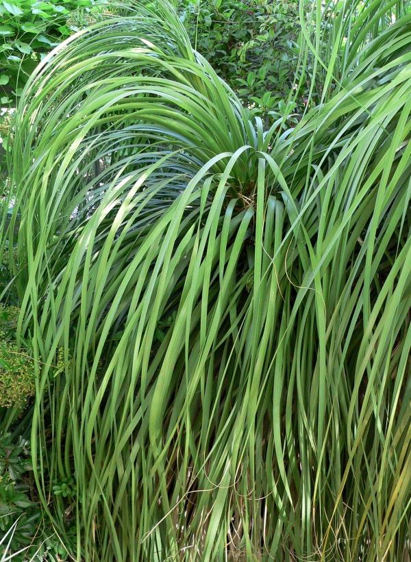 plante pied d' éléphant couronne touffue
