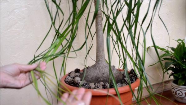 plante pied d' éléphant dans un grand pot