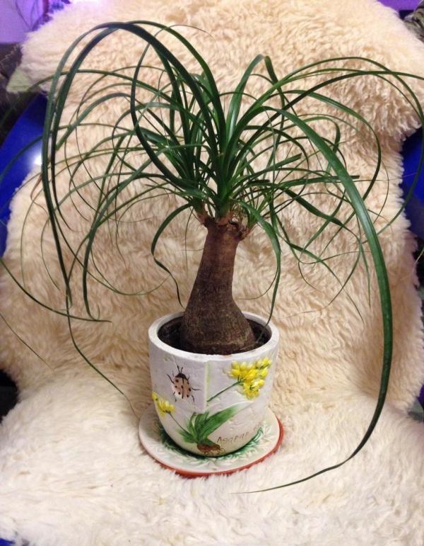 plante pied d' éléphant joli pot