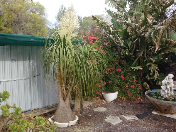 plante pied d' éléphant un jardin exotique