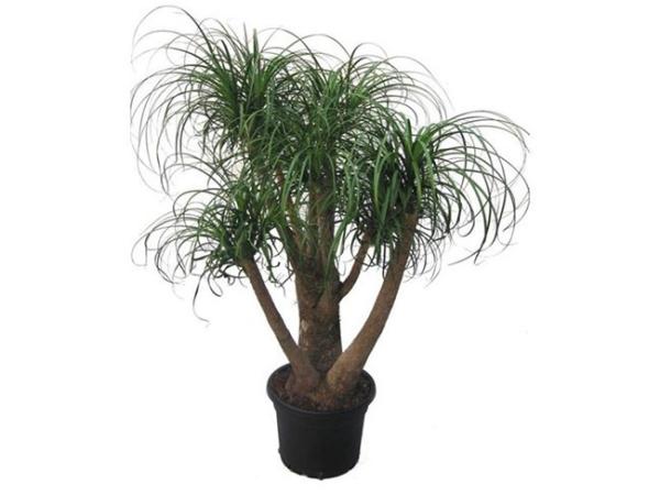 plante pied d' éléphant une plante et quelques troncs