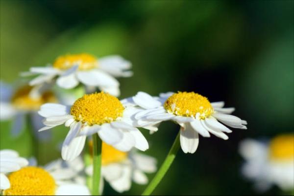 plante pour le foie aux propriétés anti-inflammatoires