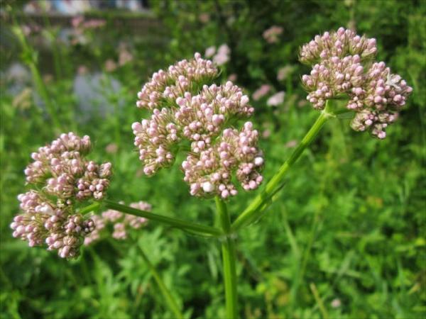 plante pour le foie aux substances amères