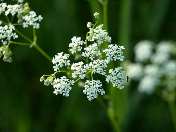 plante pour le foie flavonoïdes et minéraux