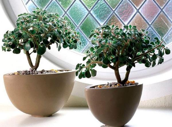 plante symbole de l'amour arbre de l'argent