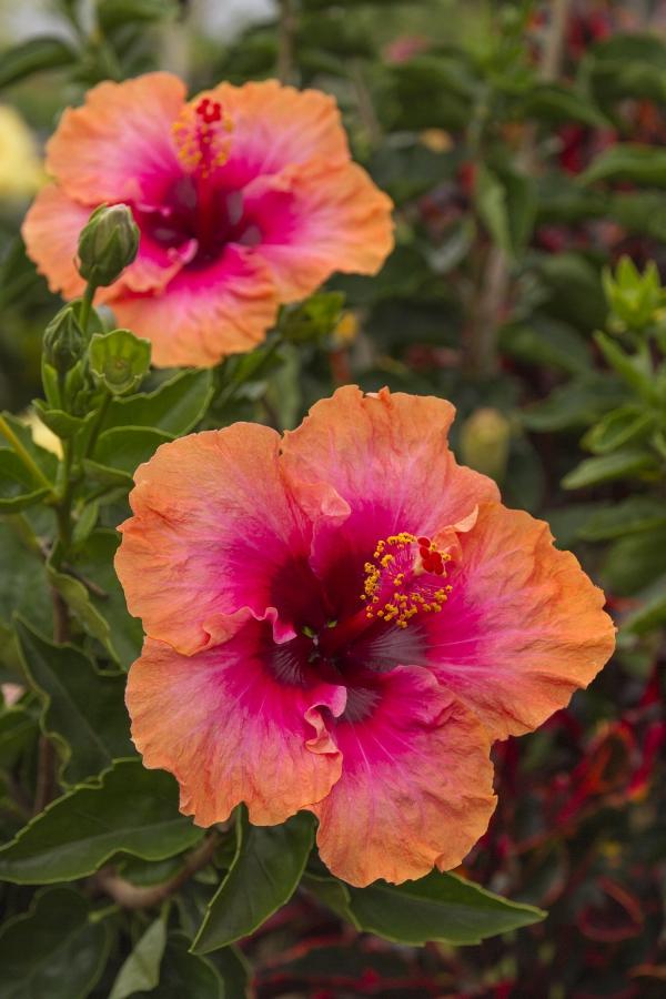 plante symbole de l'amour couleur nuancée