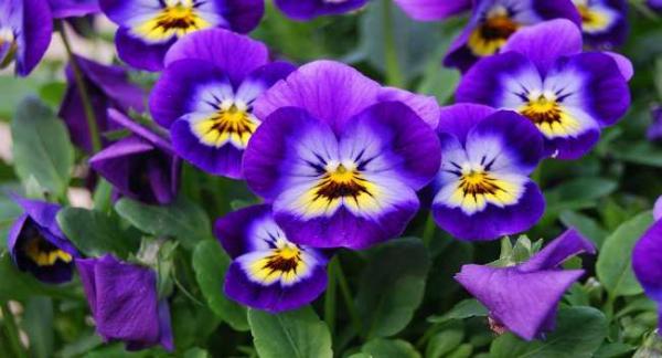plante symbole de l'amour des violettes magnifiques