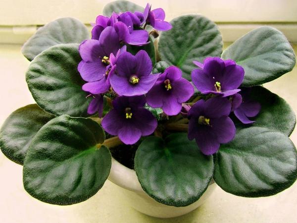 plante symbole de l'amour feuilles mousseuses