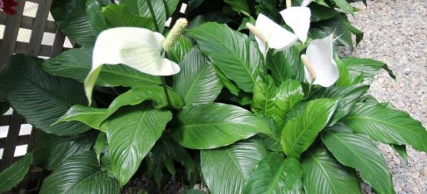 plante symbole de l'amour fleur blanche