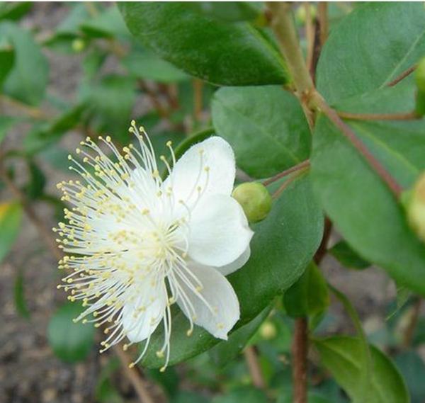 plante symbole de l'amour fleur de la myrte