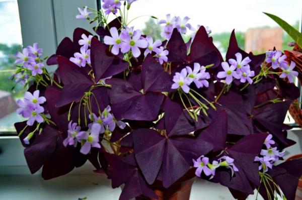 plante symbole de l'amour fleurs bleuâtres