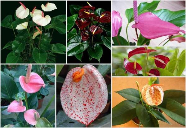 plante symbole de l'amour grande variété