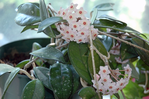 plante symbole de l'amour hoya malade