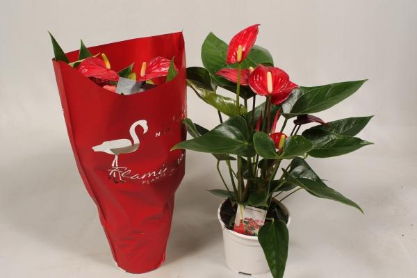 plante symbole de l'amour le flamant rouge