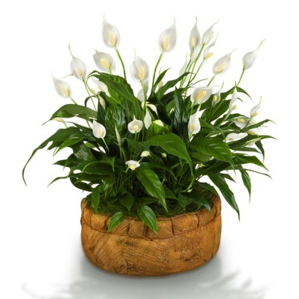 plante symbole de l'amour magnifique floraison