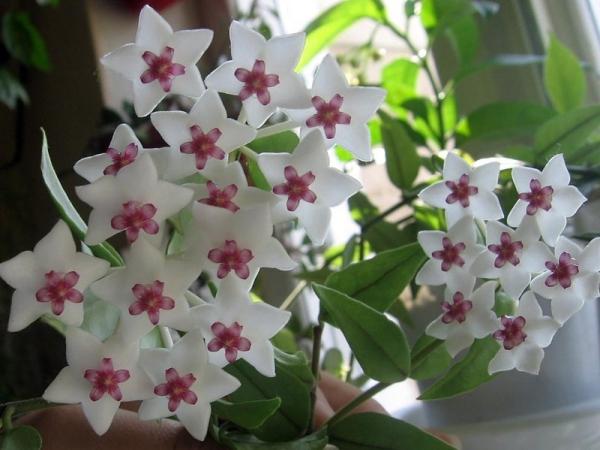 plante symbole de l'amour une hoya en bonne santé