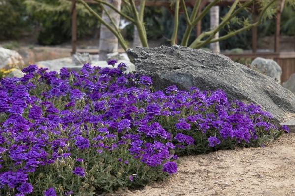 plante verveine à côté d'une roche