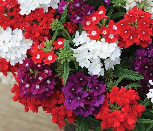 plante verveine belle variété