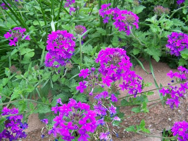 plante verveine couleur vive et éclatante