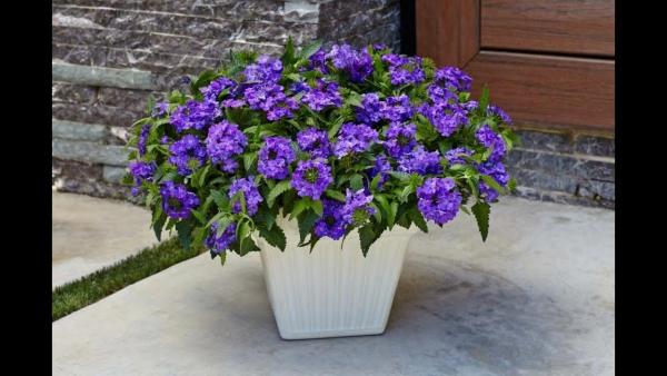 plante verveine feuillage attrayant