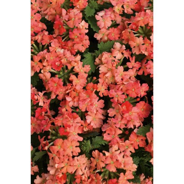 plante verveine fleurs oranges