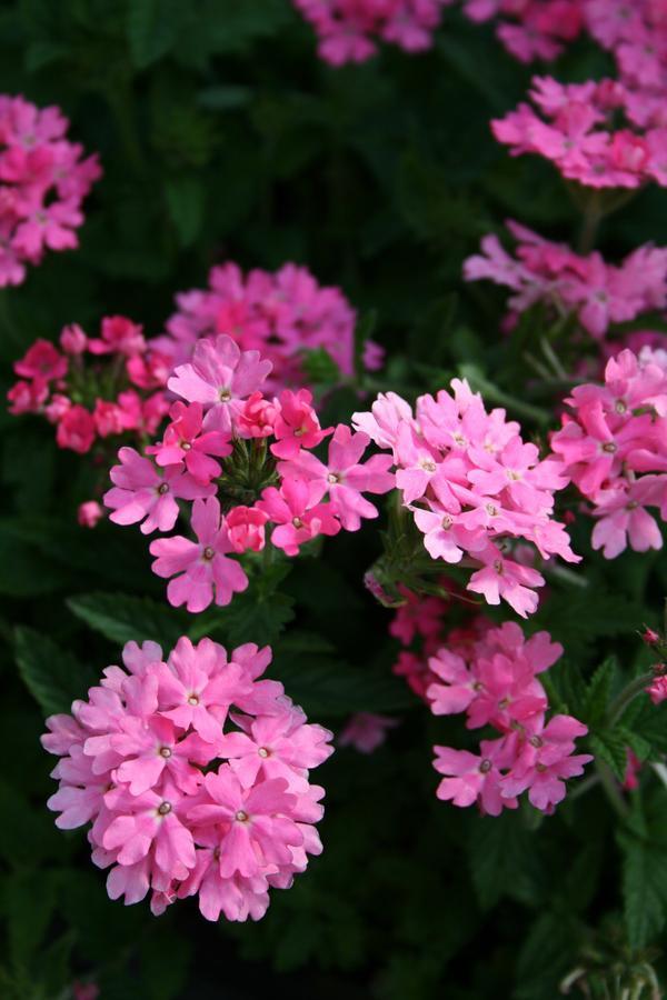 plante verveine la princesse rose