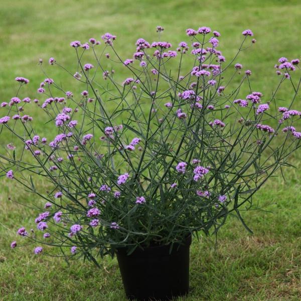 plante verveine plante en pot